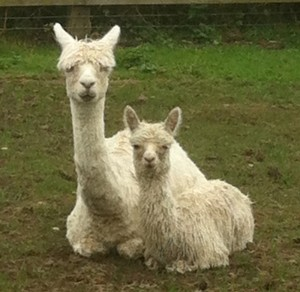 Will'o'Wisp produced CS Alpacas' first suri cria, Whisper