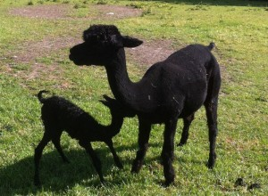 Nyeri, slightly stunned at the quickness of Nykee's birth (6mins from birth to running around!), 3rd Cria - a solid black girl