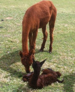 Frankie, just checking out what she has just produced - it is her first cria!