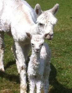 Roman, very proud of her little lad, 5th cria for CS Alpacas - stunning white boy